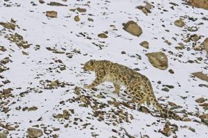 """Indien - Auf der Fährte des Schneeleoparden, dem """"Phantom der Berge"""""""