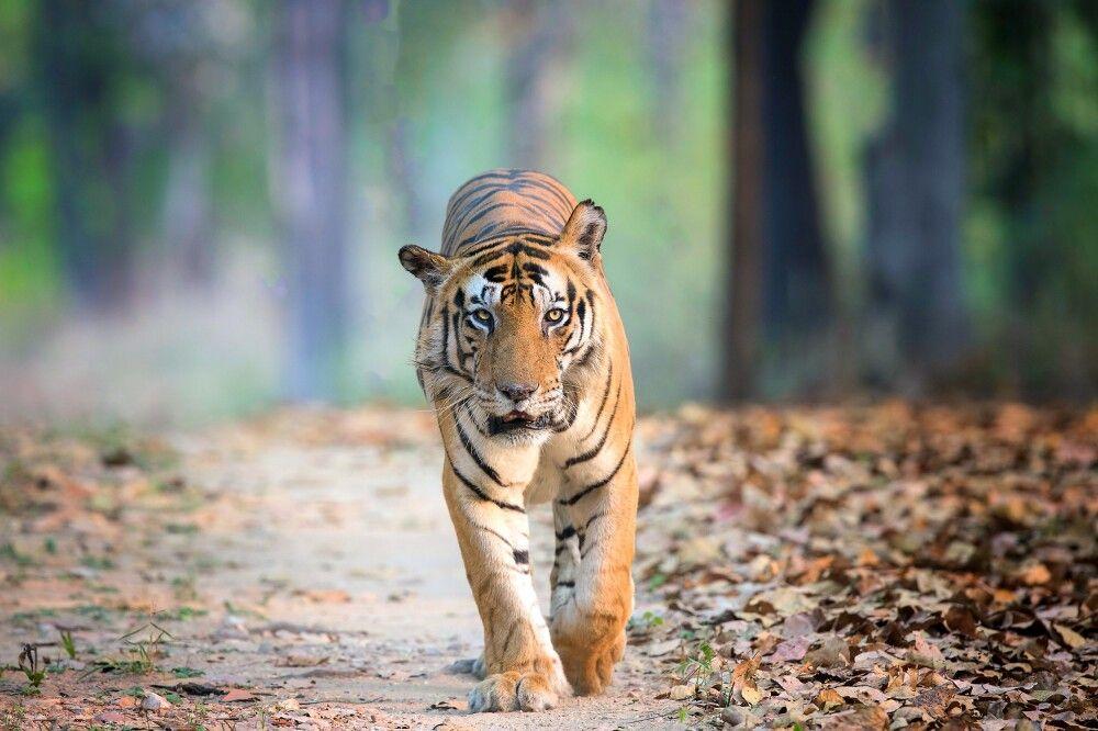 Indien - Auf der Fährte des Tigers