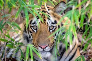Indien - Der Tiger im Fokus