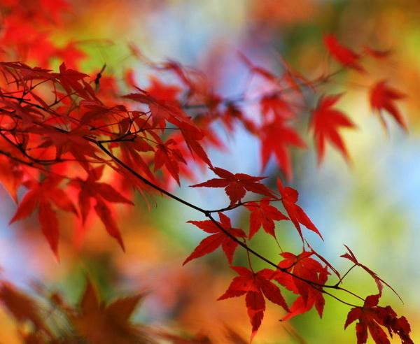 Japanisches Herbstlaub