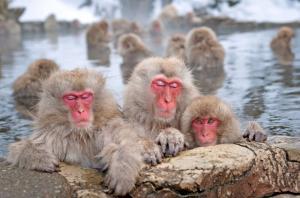 Japan - Schneeaffen, Kirschblüte und Nacktfestival