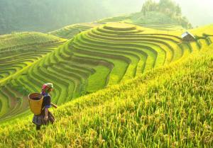 Vietnam Reisfeld,Vietnam Reisfeld