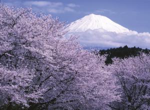 Kirschblüte am Fuß des Fuji